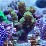 Green Pocillipora