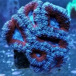 Peppermint Acan Lord